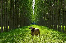 ILPF é bom para o meio ambiente e excelente para economia da fazenda