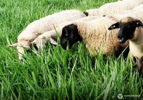 Pastagem é fundamental na criação de ovinos e caprinos