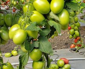 Empresa detecta gene resistente a vírus que dizima tomateiros