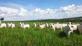 Escolha do pasto para o gado de corte requer muita atenção