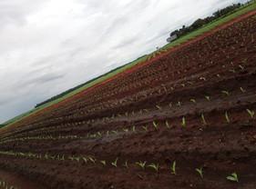 Ferramentas ajudam produtor a ter mais eficiência  na semeadura do milho safrinha