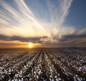 Nutrição foliar complementar garante melhor desenvolvimento do algodoeiro