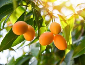 Fitorregulador pode proporcionar até 80% mais floração na manga