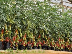 Biológicos possibilitam cultivo de tomate em região improdutiva