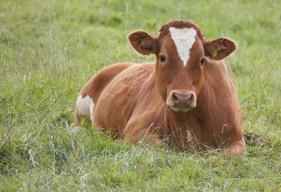 Manejo racional de bovinos gera ganhos ao produtor