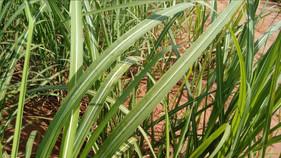 Novo fertilizante foliar fornece boro de forma diferenciada para o desenvolvimento de diversas cultu
