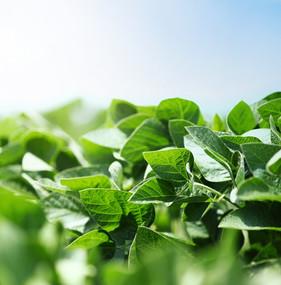 Nutrição vegetal auxilia sojicultores no aumento de produtividade de suas lavouras