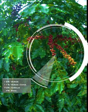 Inteligência artificial ajudará cafeicultores a colher na hora certa