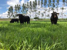 ILPF viabiliza agricultura e pecuária no norte mato-grossense