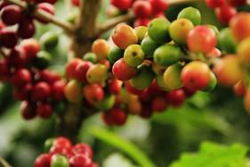 Cafeicultores afetados por geadas precisam de planejamento financeiro