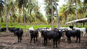 ILPF é alternativa eficiente para aumentar renda do produtor nordestino