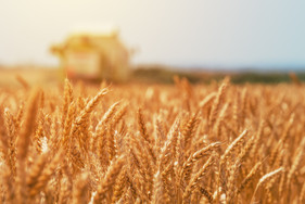 Cereal de inverno merece atenção com pragas e doenças