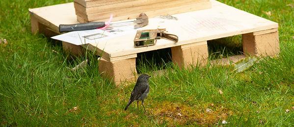 Robin-with-trap-building-gear.jpg