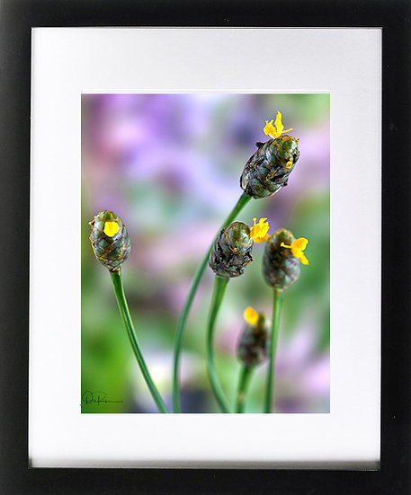 "Broad Scaled Yellow Eyed Grass (Florida native) Print With 2"" Mat and Blk Frame"