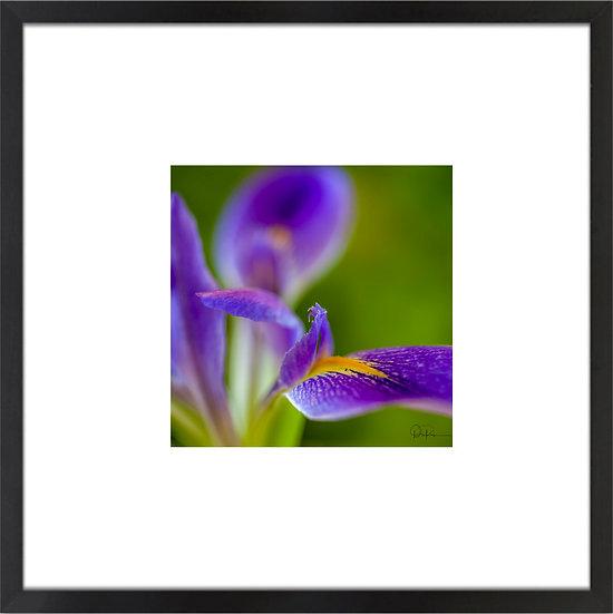 "Prairie Iris II (Florida native) Print With 4"" Mat and Black or White Frame"