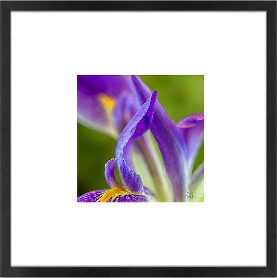 "Prairie Iris I (Florida native) Print With 4"" Mat and Black or White Frame"