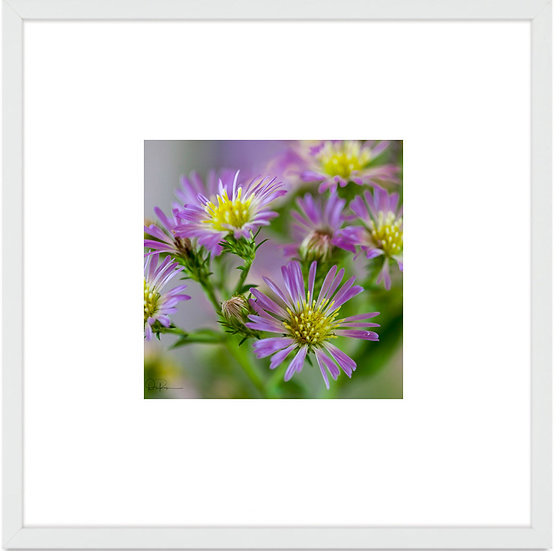 "Elliott Aster (Florida native) Print With 4"" Mat and Black or White Frame"