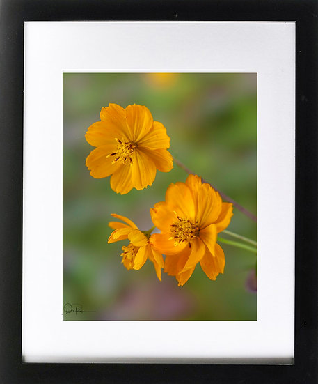 "Carolina Frostweed (Florida native) Print With 2"" Mat and Black Frame"