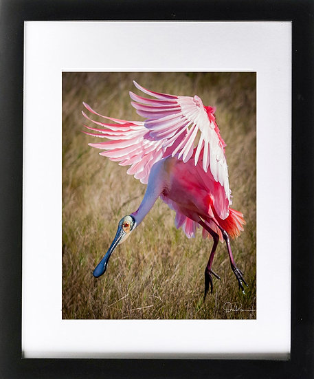 "Roseatte Spoonbill at Merritt Island NWR III Print with 2"" Mat and Black Frame"