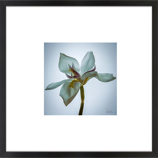 "Iris Print With 4"" Mat and Black or White Frame"