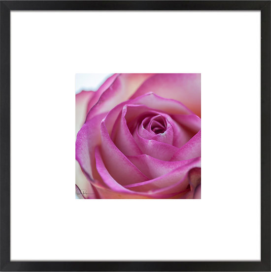 "Pink-Tipped Rose Print With 4"" Mat and Black or White Frame"