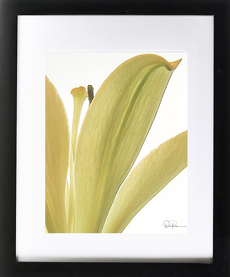 "Yellow Iris I Print With 2"" Mat and Black Frame"