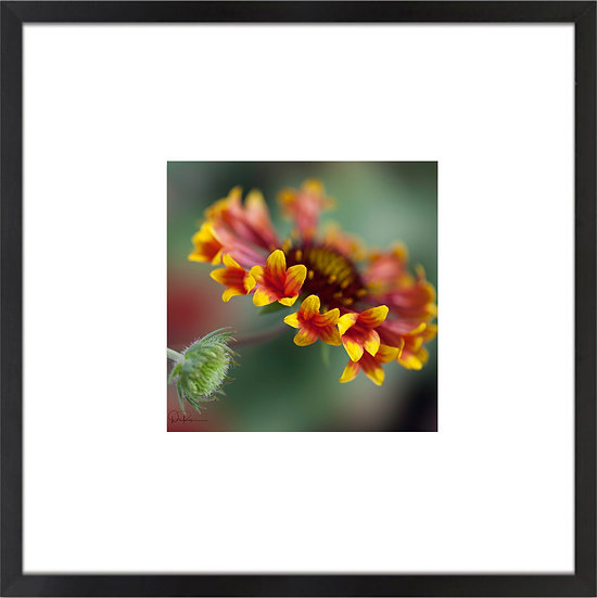 """Blanket Flower (Florida native) Print With 4"""" Mat and Black or White Frame"""