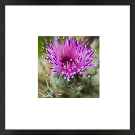 """Horrible Thistle (Florida native) Print With 4"""" Mat and Black or White Frame"""