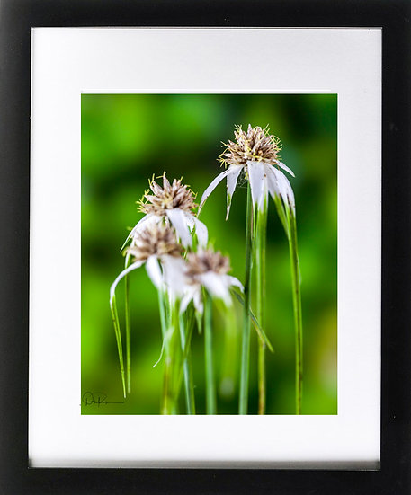 "Starrush Whitetop (Florida native) Print With 2"" Mat and Black Frame"