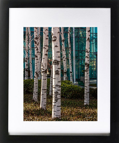 "Birch Trees in Queens Print with 2"" Mat and Black Frame"