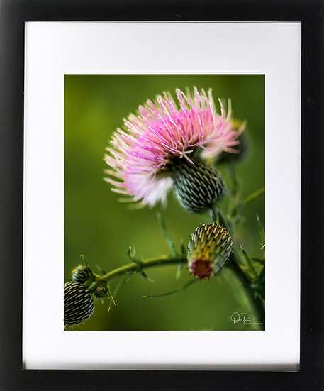 "Nutall Thistle (Florida native) Print With 2"" Mat and Black Frame"