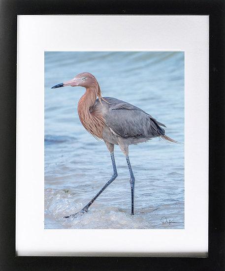 "Juvenile Reddish Egret at Ft. De Soto Park Print with 2"" Mat and Black Frame"