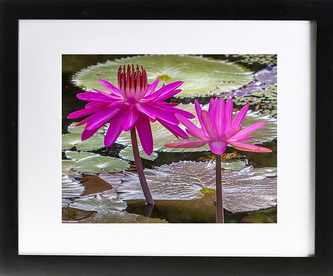 "Water Lily Pair Print With 2"" Mat and Black Frame"