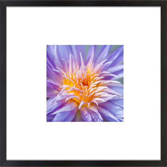 """Water Lily Print With 4"""" Mat and Black or White Frame"""