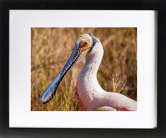 "Roseatte Spoonbill at Merritt Island NWR IV Print with 2"" Mat and Black Frame"