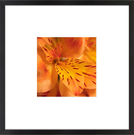 "Tiger Lily print with 4"" Mat and Black or White Frame"