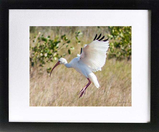"""White Ibis at Merritt Island NWR II Print with 2"""" Mat and Black Frame"""
