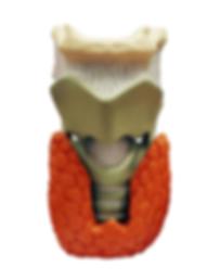 La ghiandola tiroidea