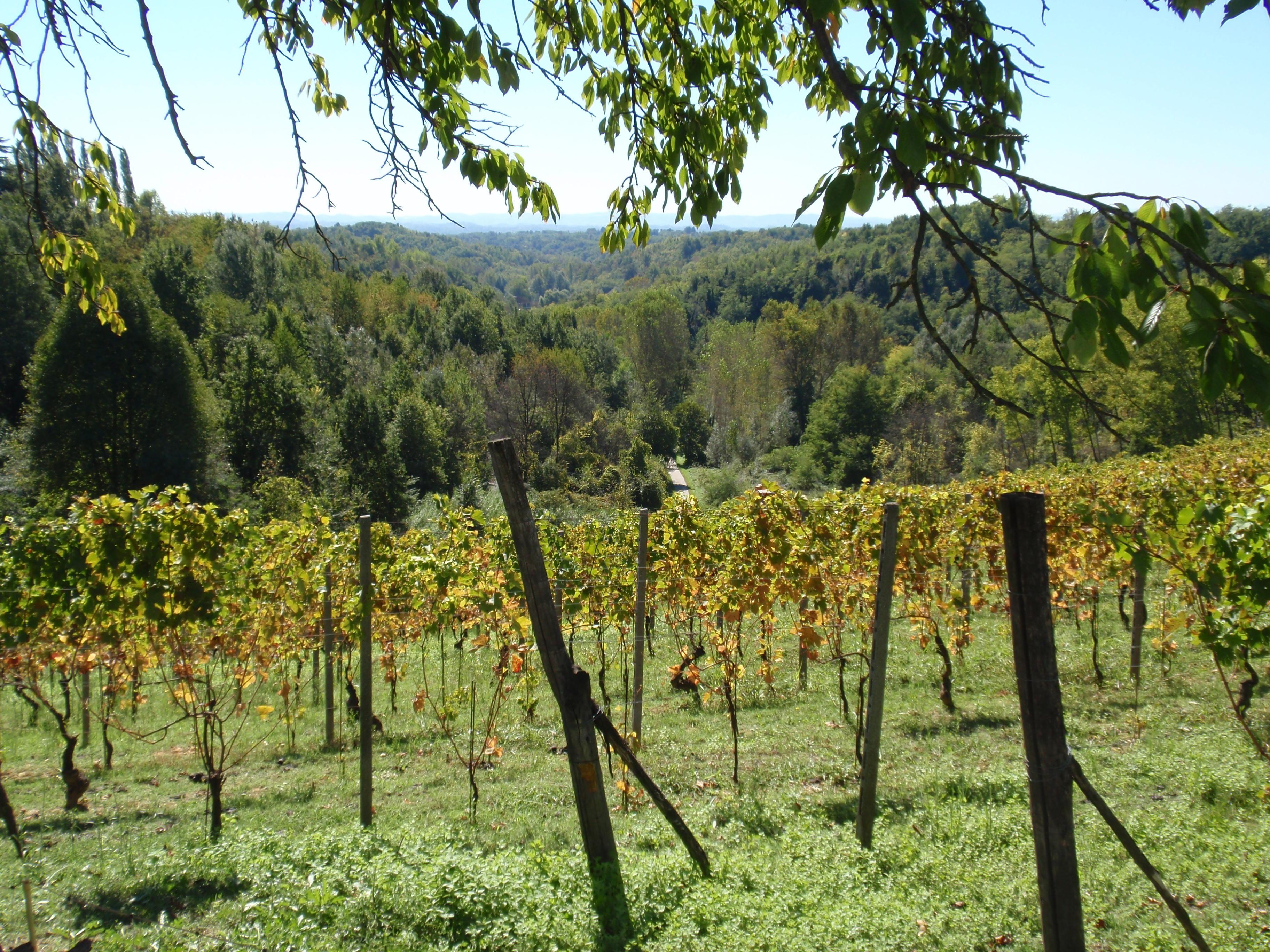 Weinpflanzen