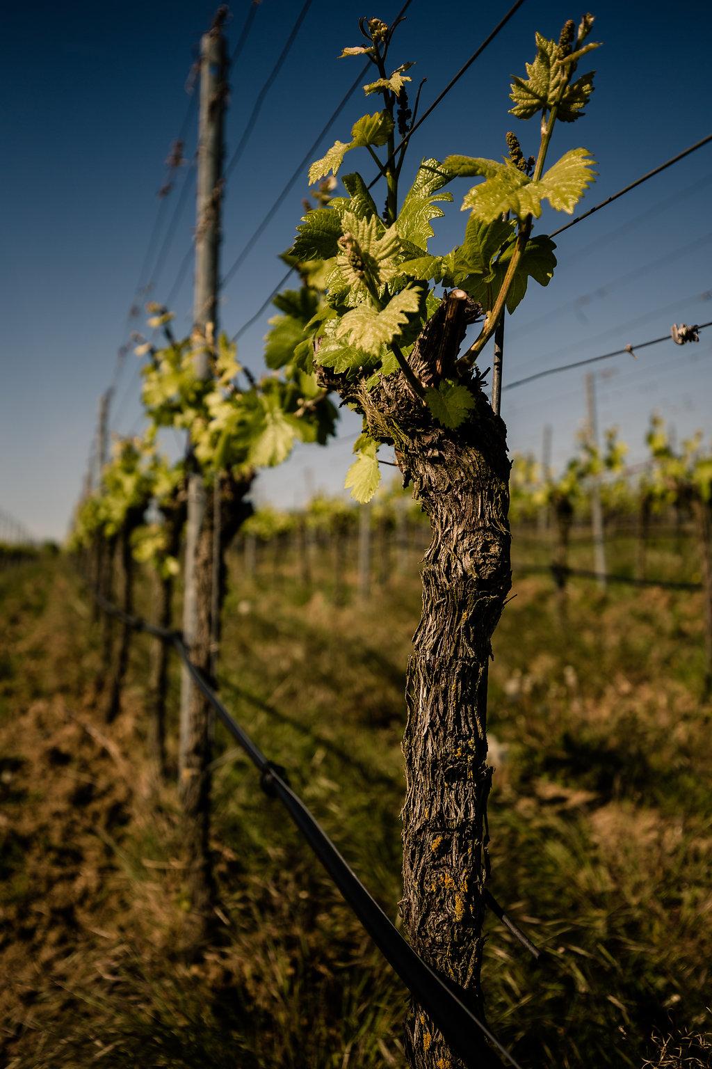 Stamm der Weinrebe