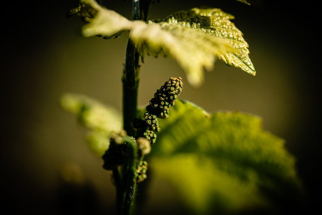 Weinrebe: Der Ursprung des Weins