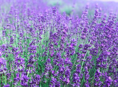 Plant Profile: Lavender