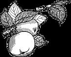 manzana (1).png