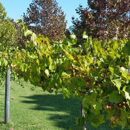 vineyard leaves.jpg