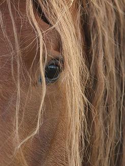 Pferd%2C+braun+langhaar%2C+auge.jpg