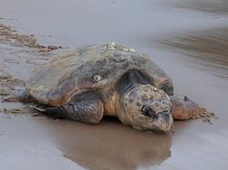 Turtle leaving (1)