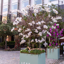 White Phalaenopsis Orchid Tree by Ariston Flowers