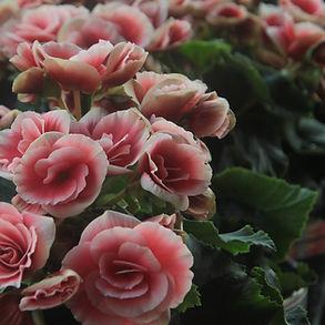 Rosies roses
