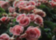 Светло-розовые розы