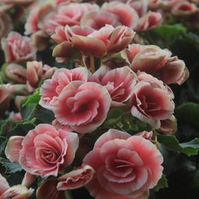 Cut Flowers, Foliage & Pot Plants